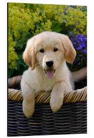 Aluminiumtavla  Cute Golden Retriever Puppy - Katho Menden