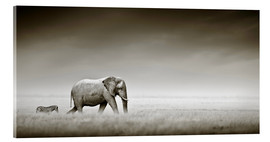 Akrylglastavla  Elephant walking past zebra size comparison - Johan Swanepoel