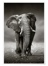 Poster  Elephant bull approaching - Johan Swanepoel