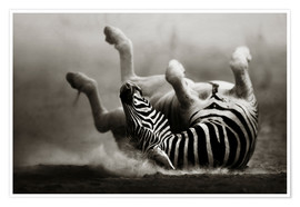 Premiumposter  Zebra rolling upside down on dusty desert sand - Johan Swanepoel