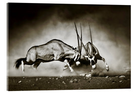 Akrylglastavla  Gemsbok antelope fighting in dusty sandy desert - Johan Swanepoel