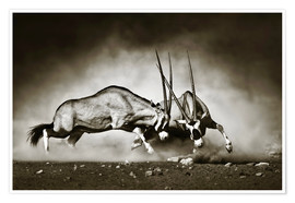 Premiumposter  Gemsbok antelope fighting in dusty sandy desert - Johan Swanepoel