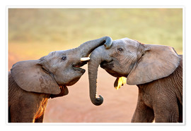 Premiumposter Two elephants interact gently with trunks