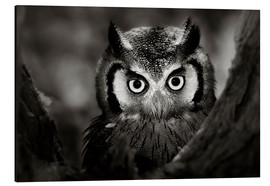 Aluminiumtavla  White-faced Owl perched in a tree - Johan Swanepoel