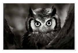 Premiumposter  White-faced Owl perched in a tree - Johan Swanepoel