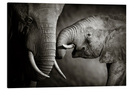 Aluminiumtavla  Baby elephant interacting with Mother - Johan Swanepoel