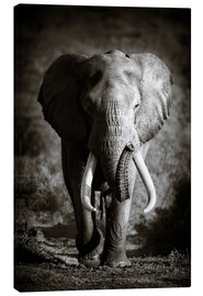 Canvastavla  Elephant with huge tusks approaching - Johan Swanepoel