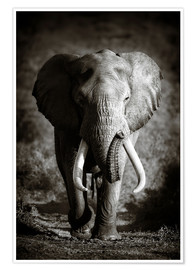 Premiumposter  Elephant with huge tusks approaching - Johan Swanepoel