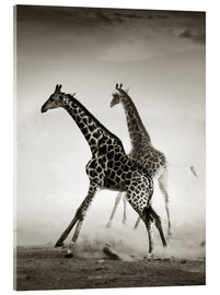 Akrylglastavla  Giraffes running in the dust - Johan Swanepoel