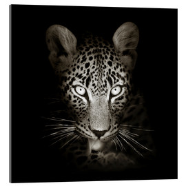 Akrylglastavla  Leopard portrait licking it's paw - Johan Swanepoel