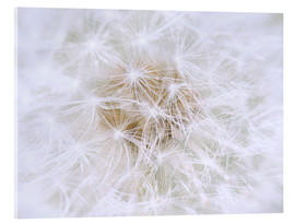 Akrylglastavla  Dandelion - white as snow