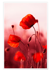 Premiumposter Poppies at sunset