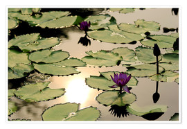 Poster Purple lotus flower