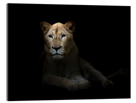 Akrylglastavla  White Lioness in the dark night