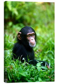Canvastavla  Chimpanzee in the jungle