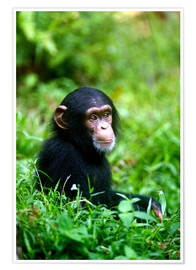 Premiumposter  Chimpanzee in the jungle