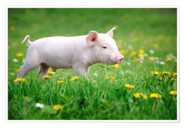 Premiumposter  Piglets on a spring meadow