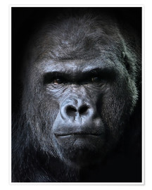Premiumposter  male gorilla in Portrait