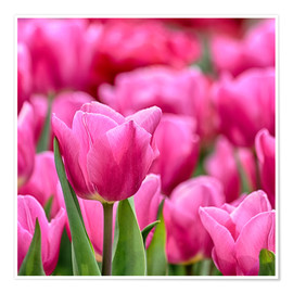Poster  Tulips in pink - Filtergrafia