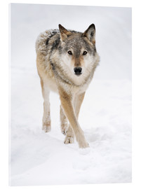 Akrylglastavla  Gray Wolf in Snow