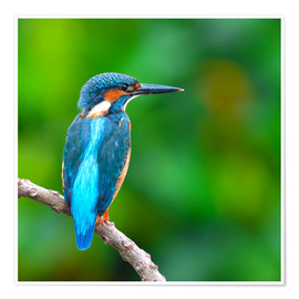Premiumposter  Kingfisher in blue turquoise