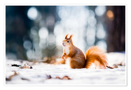 Premiumposter  Squirrel looking for its nut
