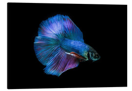 Aluminiumtavla  Blue Betta