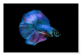 Premiumposter  Blue Betta
