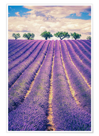 Premiumposter  Lavender field with trees in Provence, France