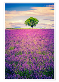 Premiumposter  Lavender field with tree in Provence, France