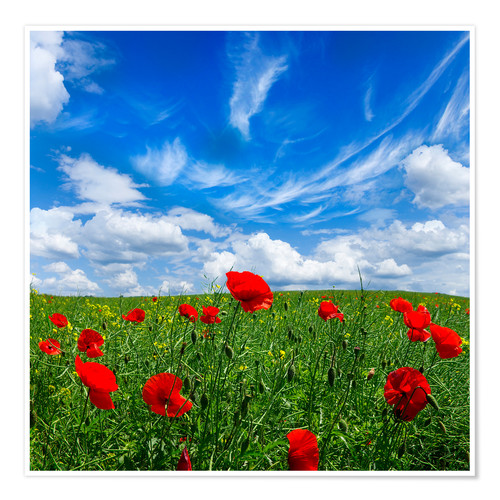 Premiumposter Red poppies on green field