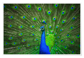 Premiumposter  beautiful peacock with feathers