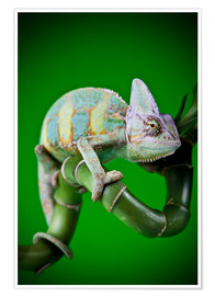 Premiumposter  green chameleon on bamboo
