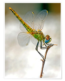 Premiumposter dragon-fly