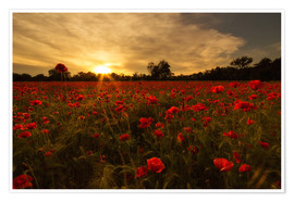 Premiumposter Poppy field in sunset