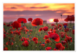 Premiumposter Poppies in sunset