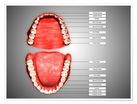 Premiumposter Human teeth structure with labels.