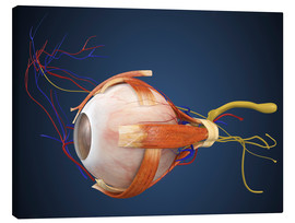 Canvastavla  Human eye with muscles and circulatory system.