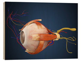 Trätavla  Human eye with muscles and circulatory system.