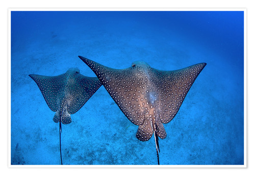 Premiumposter Spotted eagle rays