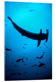 Akrylglastavla  A scalloped hammerhead shark swims near Cocos Island, Costa Rica. - Ethan Daniels