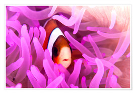 Premiumposter Anemonefish amongst tentacles