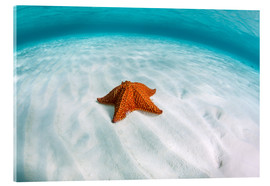 Akrylglastavla  A West Indian starfish on the seafloor in Turneffe Atoll, Belize. - Ethan Daniels
