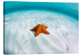 Canvastavla  A West Indian starfish on the seafloor in Turneffe Atoll, Belize. - Ethan Daniels