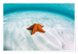Premiumposter  A West Indian starfish on the seafloor in Turneffe Atoll, Belize. - Ethan Daniels