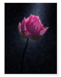 Poster  Lotus flower in the rain