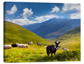 Canvastavla  Herd of sheep and goats in the mountains