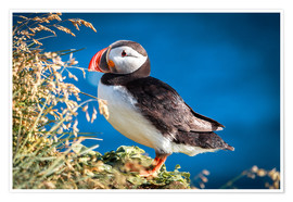 Premiumposter Puffin on Iceland