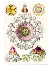 Premiumposter  Crown quill, periphylla periphylla - Ernst Haeckel