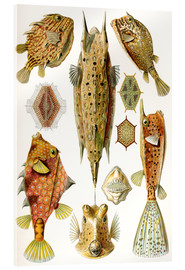 Akrylglastavla  Ostraciontes cowfish species - Ernst Haeckel